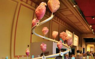A spiral of animal hearts in the Giant Heart exhibit at The Franklin Institute.